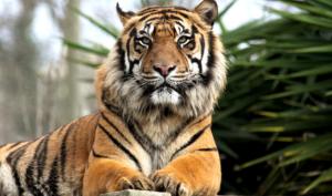 Tiger Shutterstock