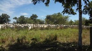 Dow Rio Cows