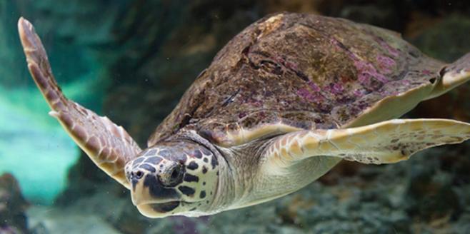 loggerhead turtle nwf
